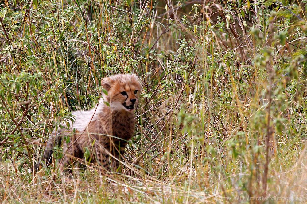 Africa, Kenya, Masai Mara. A cheetah cub peers through the grass.