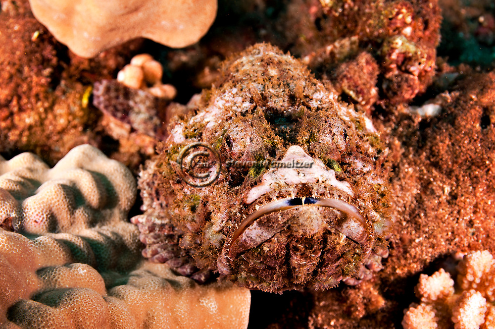 Commerson's Frogfish, Antennarius commerson, (Lacepède, 1798), Lanai Hawaii