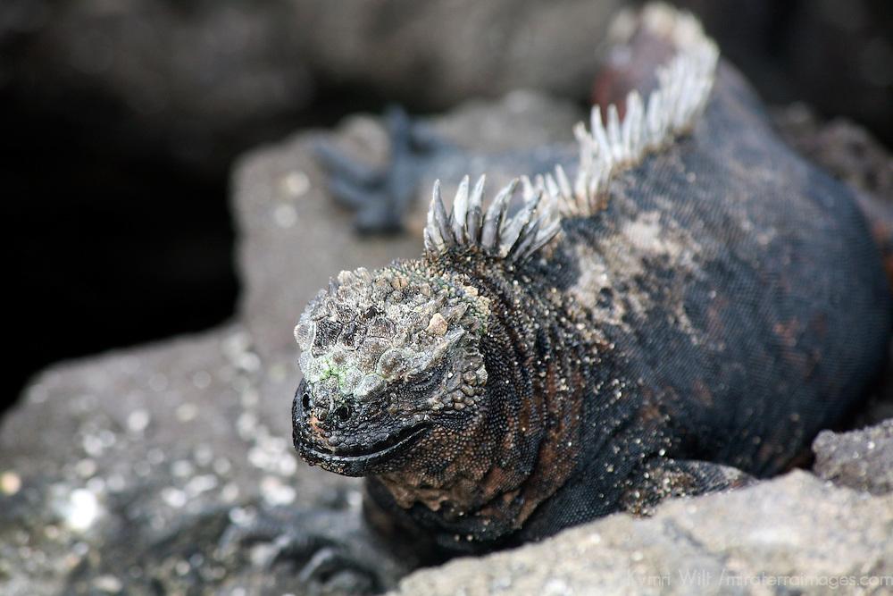 South America, Ecuador, Galapagos Islands, Bartholomew Island. Marine Iguana.