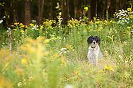 Brittany Spaniel sitting in field