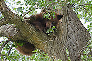 Both black bears and grizzlies can climb trees, but black bears are expert climbers. Aided by their curved claws, black bears have developed this climbing strategy to flee from predators or in the case of this cinnamon black bear, to find a safe place for napping.