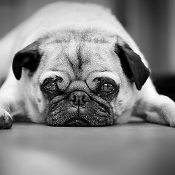 Portrait of a hungry pug waiting to be fed.