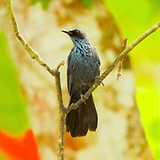 Blue Mockingbird <br /> Melanotis caerulescens<br /> El Tuito, Jalisco, Mexico<br /> 11 June      Adult       Mimidae