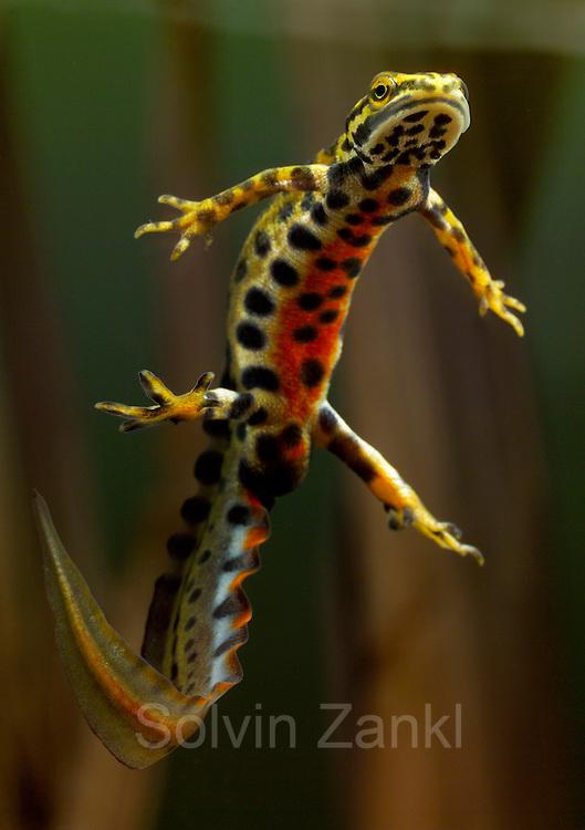 male Smooth newt, Common newt (Lissotriton vulgaris, formerly Triturus vulgaris) | Dieser männliche Teichmolch (Triturus vulgaris) läßt sich nach dem Atmen an der Wasseroberfläche wieder absinken. Der sonst schlichte Hautsaum auf Rücken und Schwanz des Männchens wächst zu Fortpflanzungszeit aus und wellt sich. Die Wissenschaftler sprechen von der Wassertracht des Tieres.