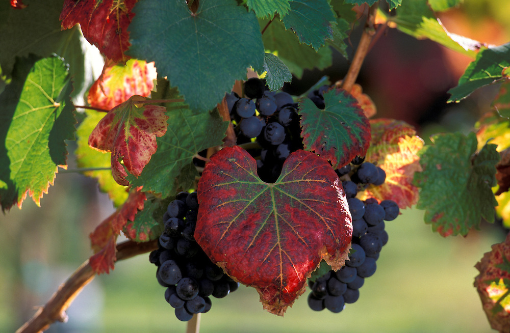 Red Grapes at Red Rooster Winery, Penticon, Okanagan Valley, British Columbia, Canada