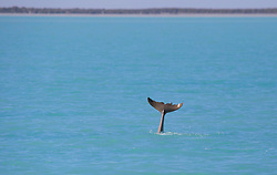 Australian Snubfin dolphin displays its tail in Roebuck Bay.  137 individual dolphins have been identified by dolphin researchers.