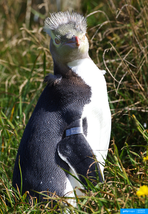 PUNK PENGUIN.....A moulting yellow eyed penguin looks a picture of attitude at Penguin Place, a private conservation reserve on the Otago Peninsular, Dunedin, New Zealand. .The penguin, in the last stages of moulting is unable to reach the feathers on it's head while grooming so the feathers remain..Yellow Eyed Penguins are the worlds most endangered penguin and live only in south east areas of New Zealand...The Yellow Eyed Penguin Reserve at Penguin Place on the Otago Peninsular offers visitors the opportunity to visit a working conservation programme and to experience and photograph undisturbed penguin activity at close range through a unique system of hides and covered tunnels. The reserve is a private conservation effort to save one of the world's most endangered penguins from extinction. This funding provides habitat restoration, predator control, a research programme and on-site rehabilitation care, for the sick, starving and wounded. The reserve is funded entirely through the profits from the Penguin Place tour operation. .. The Yellow Eyes Penguin usually nests in native forest or scrub and do not nest within visual sight of each other..Penguin Place is dedicated in helping the endangered species survive. The project is entirely funded by the guided tours. This funding provides habitat restoration, predator control, a research programme and on-site rehabilitation care, for the sick, starving and wounded.  Estimates put the number of Yellow Eyed Penguins left in the world at between 3000-7000.