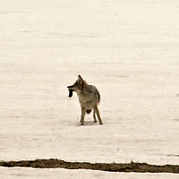Coyote Makes the Kill<br /> Wyoming