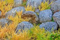 Fall ferns in between granite boulders in the white Mountains of New Hampshire.