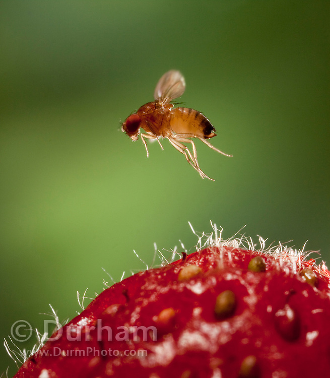 A female spotted wing fruit fly approaching a fresh strawberry. An inroduced pest species in North America, the spotted wing fruit fly (Drosophila suzukii) feeds and breeds on fresh berries such as rasberries, strawberries and cherries – unlike most fruit flies that infest decaying and rotting fruit. Drosophila suzukii is a substantial pest for berry and fruit farmers. © Michael Durham / www.DurmPhoto.com