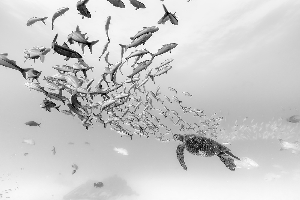 México, Baja California, Sea of Cortez, Cabo Pulmo. A sea turtle and a school of fishes swimming above the remains of a shipwreck.