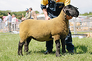 The Angus Show, Brechin, Saturday 8th June, 2013. Suffolk champ from G Christie. Also overall show champ.
