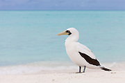 Masked Booby profile