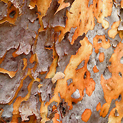 Eucalyptus bark peels in Ku-ring-gai Chase National Park, 25 km north of Sydney, in New South Wales, Australia.