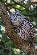 A barred owl (Strix varia) rests on the curved trunk of a rhododendron in the Washington Park Arboretum, Seattle, Washington. Barred owls are known by many names, including hoot ouwl, eight hooter, rain owl, wood owl and striped owl.