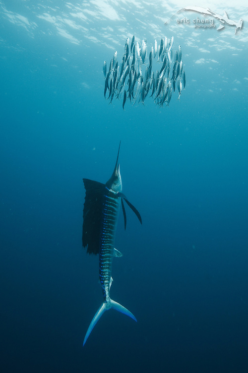An Atlantic sailfish (Istiophorus albicans) drives a school of sardines up to the surface. Isla Mujeres, Mexico. echeng100118_0243895