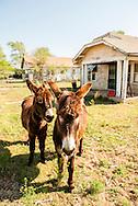 Burros, Donkeys, Albert, Oklahoma, PROPERTY RELEASED