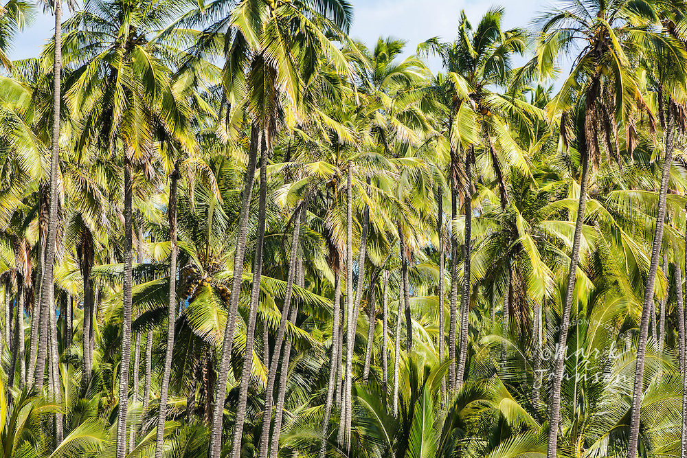 Coconut palm tree grove, Kauai, Hawaii