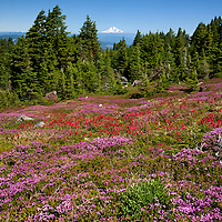 OR01674-00...OREGON - Brightly colored paintbrush and heather in a meadow along the McNeil Point Trail in the Mount Hood Wilderness area with Mount Adams in the distance.