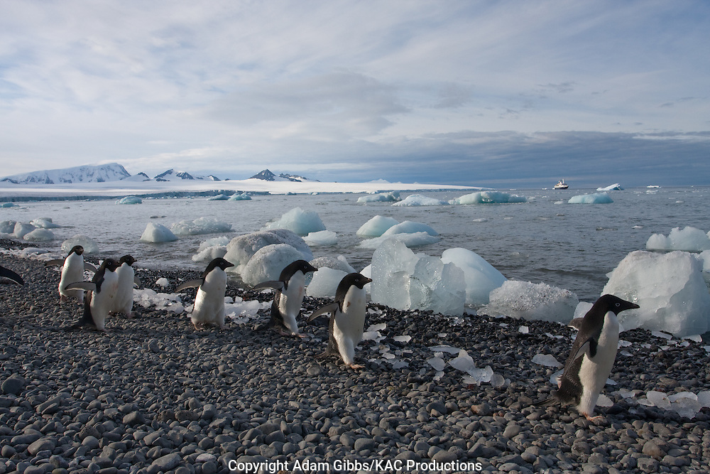 Adelie penguin, Antarctica, Pygoscelis adeliae, Brown Bluff, group walking along shoreline with ice in background.