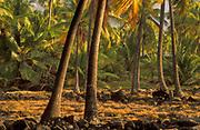 Coconut Palm tree grove at Puuhonua O Honaunau National Historical Park, Hawaii.