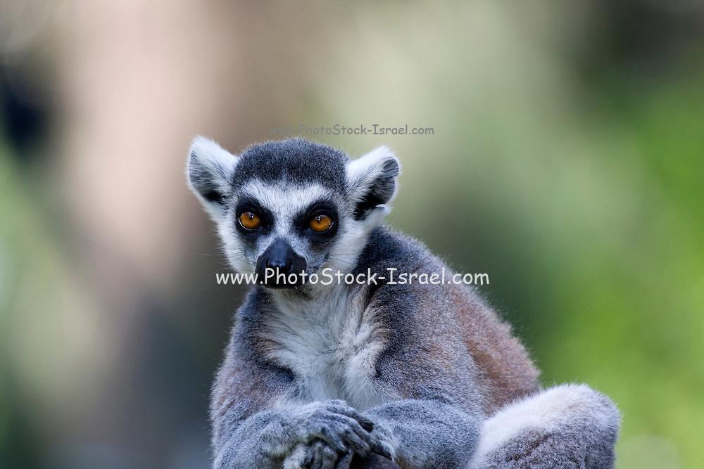 Close up portrait of a Ring-tailed Lemur (Lemur catta)