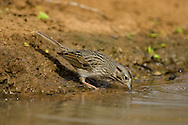 Lincoln's Sparrow (Melospiza lincolnii)<br /> TEXAS: Hidalgo Co.<br /> Las Colmenas Ranch<br /> 14-March-2006<br /> J.C. Abbott #2248