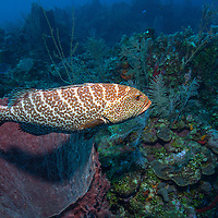 Tiger grouper (Mycteroperca tigris) on reef; West End, Roatan, Honduras.