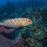 Tiger grouper (Mycteroperca tigris) on reef; West End, Roatan, Honduras.