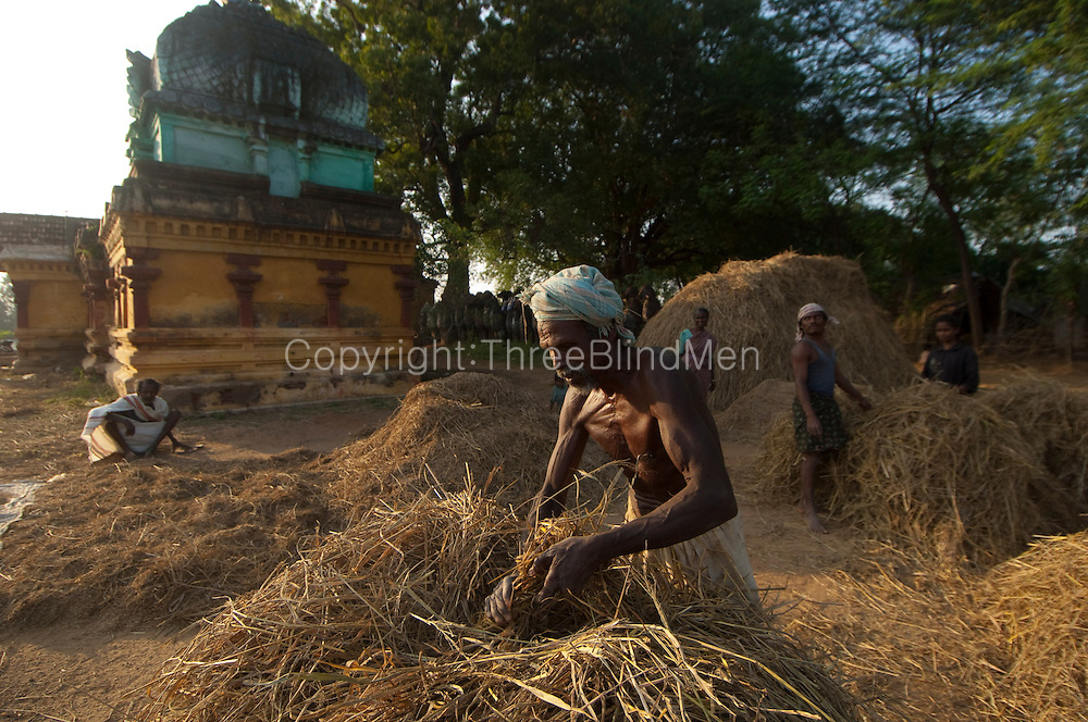 Rice Harvest season. Working beside a Hindu temple, the neighboring farmers use the public space to transport, thresh, pack and winnow their rice crop. Tamil Nadu.