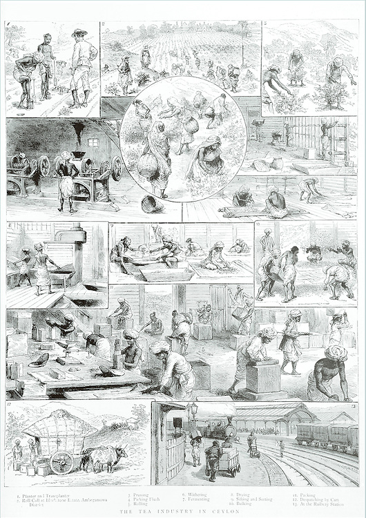 The Graphic. January 1888.<br /> Tea Production in Ceylon 1888 engraving of the plantation industry in what is now Sri Lanka.<br /> Mlesna Collection