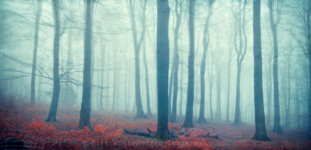 Panorama of a beech tree forest shrouded in fog.<br /> Prins: http://society6.com/DirkWuestenhagenImagery/mute-forest_Print<br /> <br /> or<br /> https://crated.com/art/150860/mute-forest-by-dirkwustenhagen?product=FP&amp;size=12|25&amp;frame=BF&amp;edge=250MA