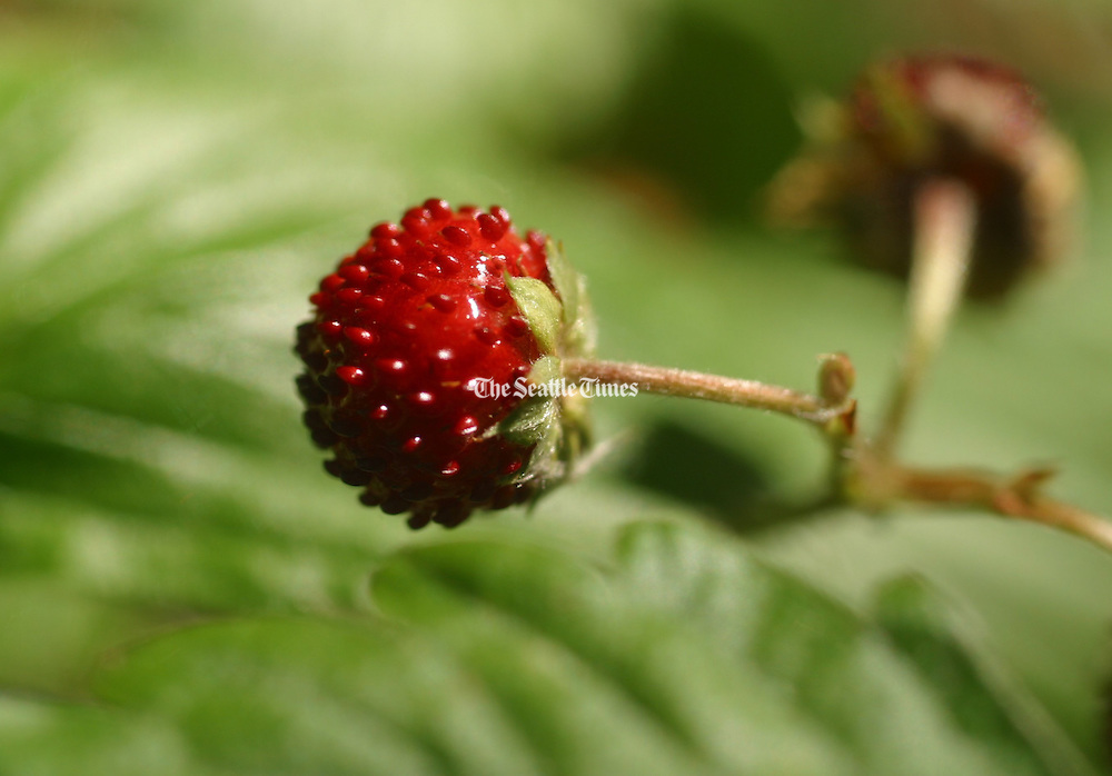 Strawberry (Tom Reese / The Seattle Times)