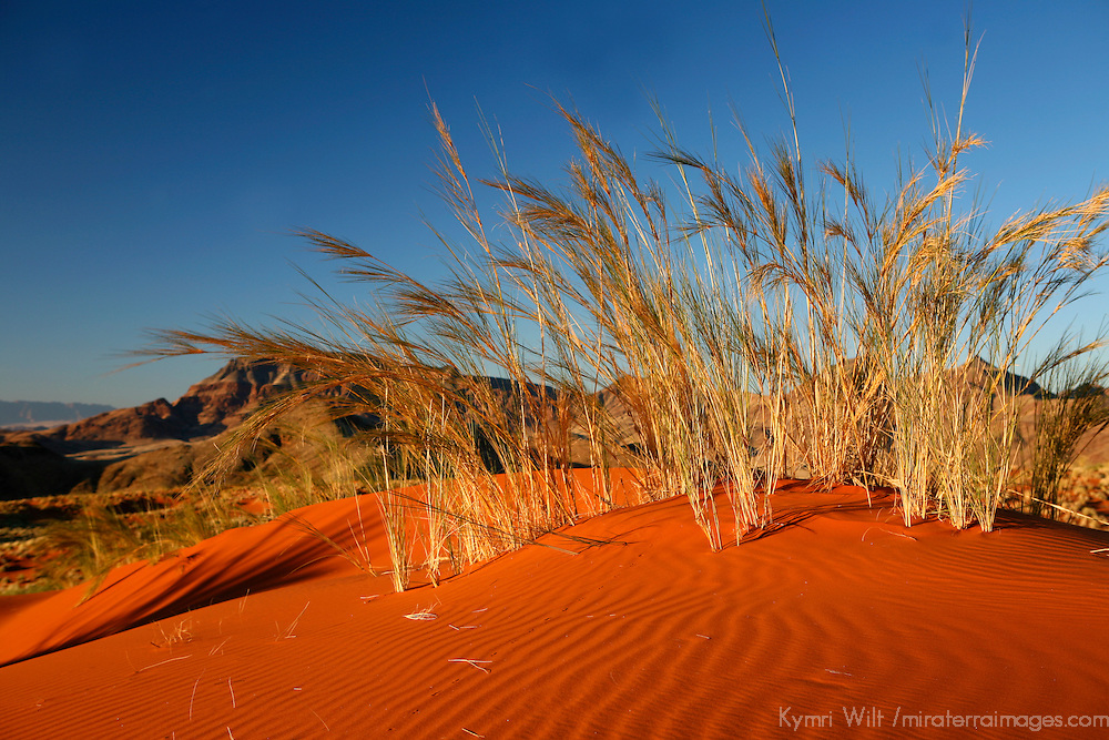 Africa, Namibia, Sossusvlei. Dune grass glows golden in the setting sunlight of the NamibRand desert.