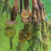 Paritally submerged mangrove branches, covered with colorful sponges, in a brackish canal near Key Largo, Florida.