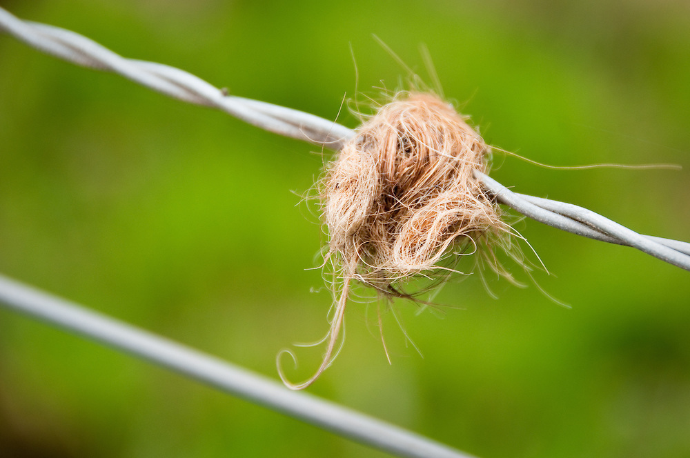 Highland Cow hair on Barbed Wire fence in Cardross, Scotland