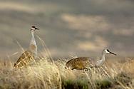 Sandhill Cranes (Grus canadensis), Red Rock Lakes National Wildlife Refuge, Montana