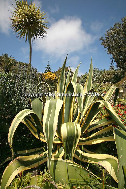 Tresco Abbey Gardens, Tresco, Isles of Scilly, UK