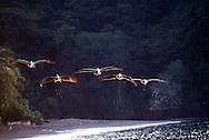 Pelecanus es un g&eacute;nero de aves marinas llamadas vulgarmente pel&iacute;canos, y pertenecientes a la familia Pelecanidae. Los pel&iacute;canos son famosos por sus enormes picos, pero poseen otro rasgo distintivo: a diferencia de otras aves acu&aacute;ticas, tienen los cuatro dedos palmeados, al igual que los cormoranes y alcatraces . Se alimentan de peces, y la mayor&iacute;a vive en el mar. El pel&iacute;cano es el &uacute;nico animal que traga agua salada y en su garganta la convierte en agua dulce para su consumo.<br /> Pueden volar durante mucho tiempo, pero se les hace dif&iacute;cil moverse en tierra. Las ocho especies que hoy en d&iacute;a existen se encuentran distribuidas en todos los continentes excepto Ant&aacute;rtica. Algunas especies prefieren los lagos y otros dep&oacute;sitos de agua dulce, mientras que otras habitan las costas marinas. Aunque a todas se les puede ver en todo tipo de agua; dulce, salubre y salada. Estado de conservaci&oacute;n: preocupaci&oacute;n menor. &copy;Alejandro Balaguer/Fundaci&oacute;n Albatros Media.