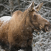 A moose browses on branches while a fresh blanket of snow falls during a chilly winter afternoon in Anchorage, Alaska.