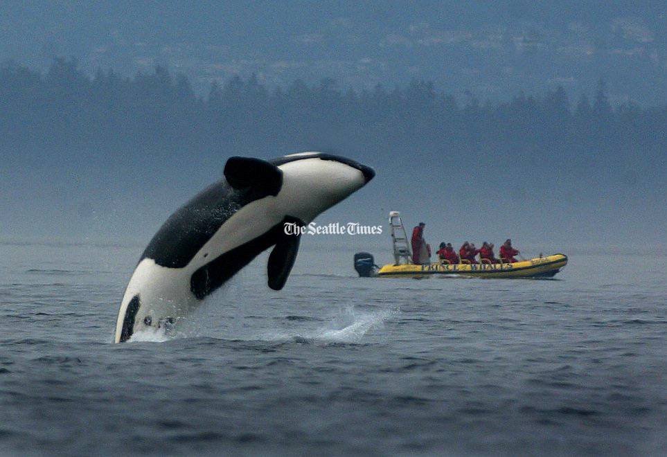 A transient orca breaches while feeding off of Stuart Island as whale watchers from Canada get their money's worth.<br />