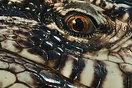 Argentine black-and-white tegu lizard eye, Tupinambis merianae, Australian Reptile Park, Somersby, New South Wales, Australia