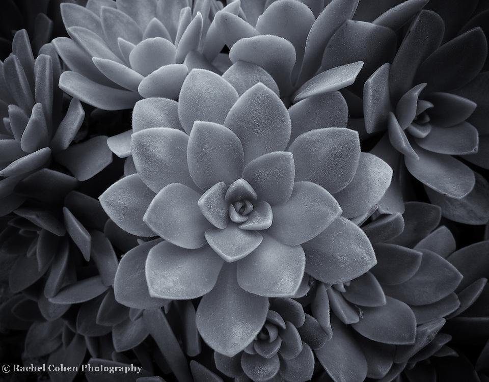 """""""Succulent Desert Rose"""" mono"""