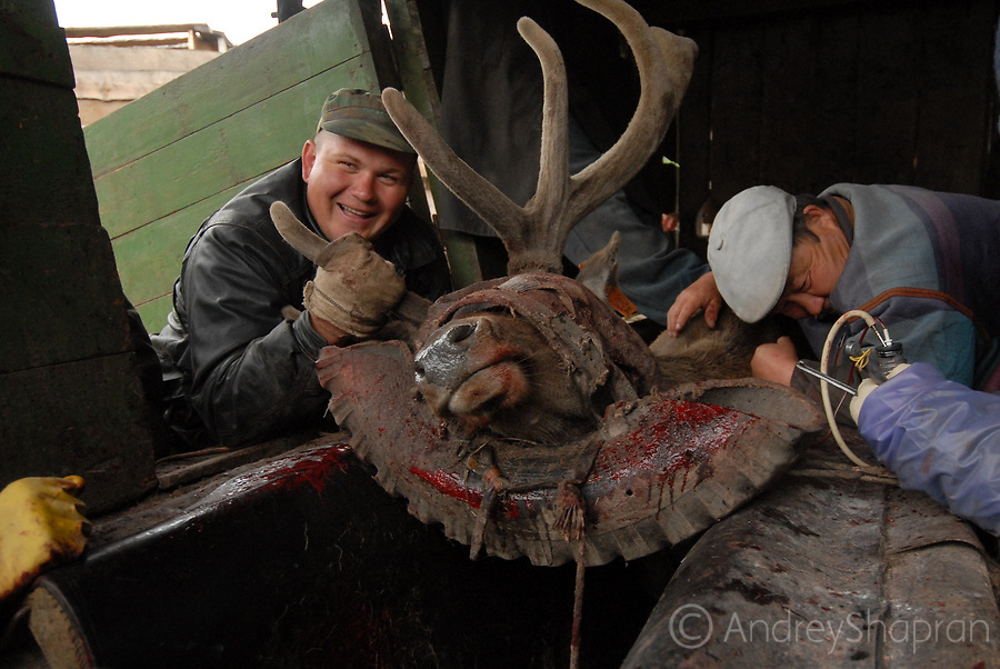 Antlers cutting in Altai mountains