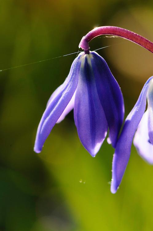 Oosterse sterhyacint, Scilla siberica