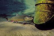 Splake<br /> <br /> ENGBRETSON UNDERWATER PHOTO