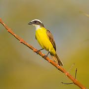 Social Flycatcher<br /> Myiozetetes similis primulus<br /> El Tuito, Jalisco, Mexico<br /> 14 June       Adult      Tyrannidae