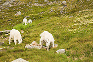Mountain Goats (Oreamnos americanus) grazing along the Crow Pass Trail in Chugach National Forest in Southcentral Alaska. Summer. Afternoon.