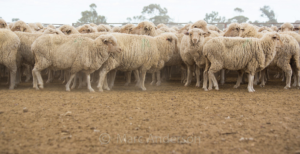Mob of merino sheep in dry, barren, drought conditions in outback Queensland, Australia