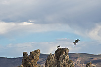 An Osprey brings a fish to a nest on Mono Lake. Osprey's mainly hunt fish but due to Mono Lake's alkalinity it contains no fish, yet they are safely protected from predator's by nesting on the exposed tufa towers. The Osprey's make a 6-25 mile round trip to catch their prey.
